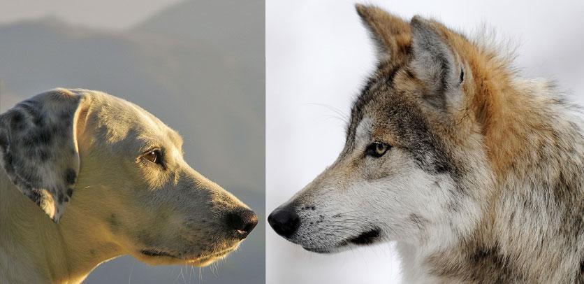 Unterschied Wolf Hund